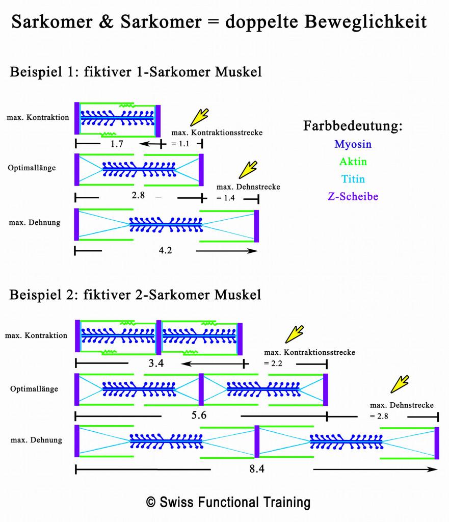 Sarkomer-Sarkomer-doppelte-Beweglichkeit1-881x1024